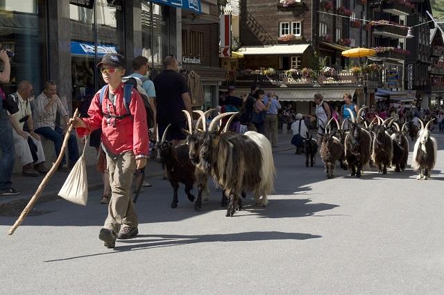 Blackneck goats zermatt and Kurt Muller