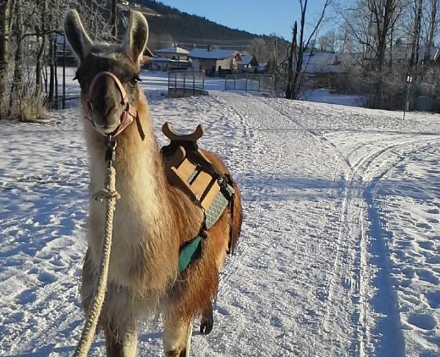 Winterliches Lamatrekking